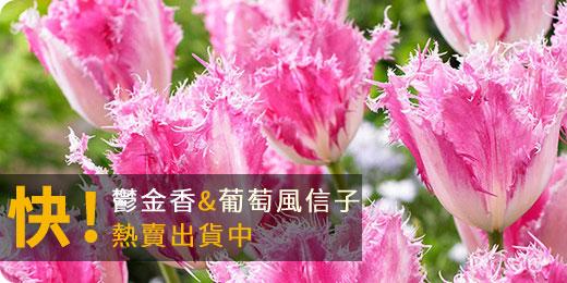 冬季限定的幸福-球根祭:鬱金香、葡萄風信子,現貨熱賣中!