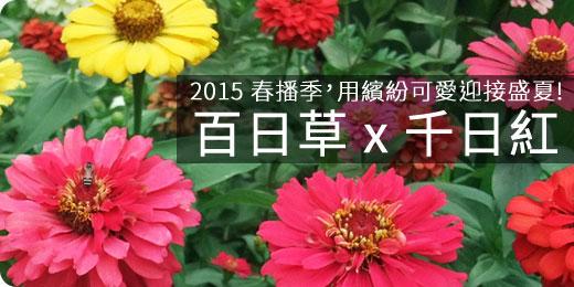 2015 春播季:用可愛繽紛迎接盛夏,百日草 x 千日紅- iGarden 春播季