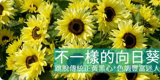 不一樣的向日葵:跳脫傳統正黃黑心,色調豐富迷人 - iGarden 春播季