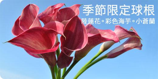 季節限定-陸蓮花‧彩色海芋‧小蒼蘭&More