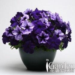矮牽牛 快樂藍紫組合